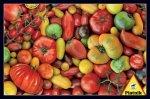 Puzzle 1000 Piatnik P-5369 Pomidory