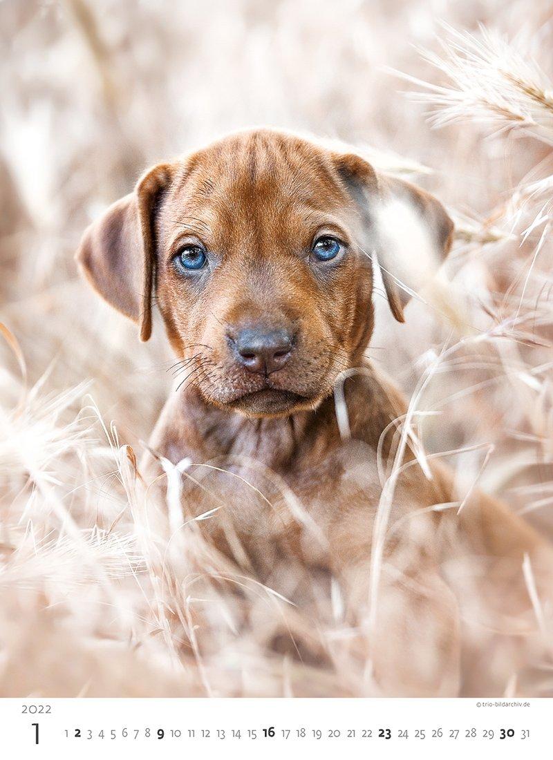 Kalendarz ścienny wieloplanszowy Puppies 2022 - styczeń 2022