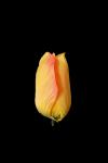 Tulipan MIX - BA01A