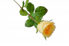 Róża pojedyncza MIX - JD376