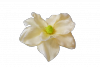 Magnolia wyrobowa