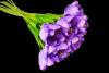 Tulipan x 12 szt. MIX - BXT1700