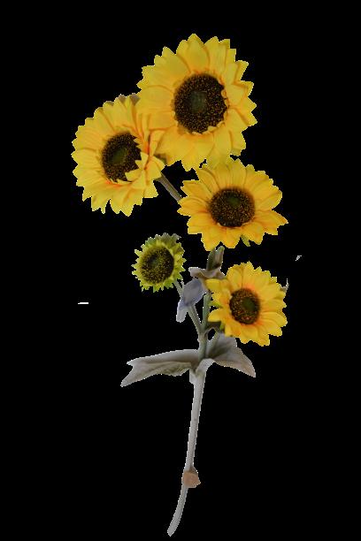 Słonecznik OLBRZYMI 5 kwiatów