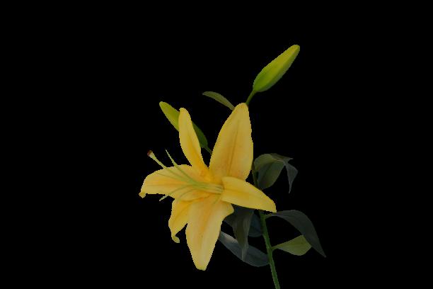 Lilia - 99/76