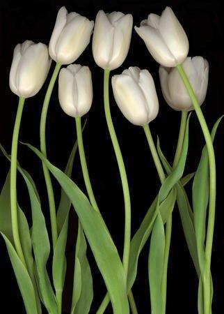 Harold Feinstein - Białe tulipany - Parasol długi automat