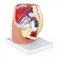 PHYSA Model anatomiczny - miednica żeńska PHY-FP-4 10040317