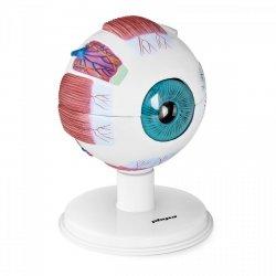 Oko - model anatomiczny