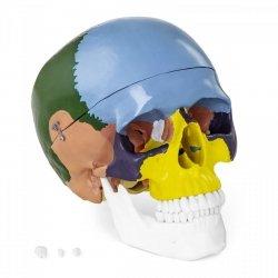 Czaszka człowieka - model anatomiczny - kolorowy