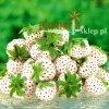 Nasiona białej truskawki
