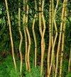 sadzonki bambusów odpornych na mrozy