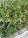 Trawy ozdobne wysokie czarne