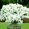 Petunia ogrodowa Kaskada biała