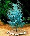 Niebieski Eukaliptus (Eukaliptus gunni)