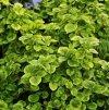 Odmiany hortensji pnących