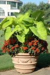 Impatiens SunPatiens Vigorous Orange