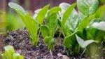 Jak i gdzie uprawiać baby leaf ?