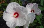 Jak uprawiać Hibiskus bylinowy w ogrodzie?