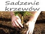 Sadzenie drzew i krzewów z odkrytym systemem korzeniowym.