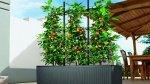 Drzewka owocowe na balkon