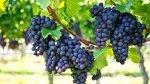 Winorośl - jakie odmiany wybrać?