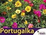 Portugalka wielokwiatowa półpełna, mieszanka (Portulaca grandiflora) 0,5g nasiona