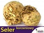 Seler korzeniowy Talar wczesny (Apium graveolens) 1 g