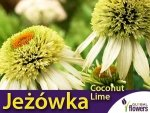 Jeżówka 'Coconut Lime' (Echinacea) Sadzonka