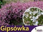 Gipsówka rozesłana, mieszanka (Gypsophila repens) 0,3g