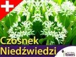Czosnek Niedźwiedzi SAMO ZDROWIE (Allium ursinum)0,5g