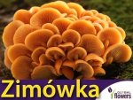 Zimówka aksamitnotrzonowa grzybnia na kołkach 20szt. Wzmacnia odporność organizmu