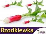 Rzodkiewka Opolanka (Raphanus sativus) opakowanie XXL 500g