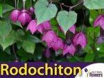 Rodochiton fioletowy (Rhodochiton atrosanguineus) 6 nasion