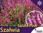 Szałwia omszona 'Salute Pink' (Salvia nemorosa) Sadzonka