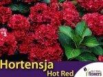 Hortensja ogrodowa 'Hot Red' bordowa (Hydrangea macrophylla) Sadzonka