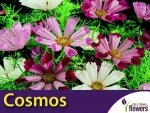 Kosmos Muszelkowy Sea Sheels (Cosmos) nasiona