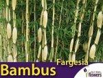 Bambus Mrozoodporny Fargesia olbrzymia 'Campbell' (Fargesia robusta) Sadzonka