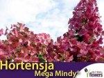 Hortensja bukietowa 'Mega Mindy ®' (Hydrangea paniculata) sadzonka