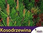 Kosodrzewina Pumillo (Pinus mugo var pumilio) sadzonka
