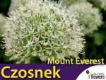 Czosnek mount everest (Allium) CEBULKA