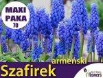 MAXI PAKA 70 szt Szafirek armeński (Muscari) CEBULKI
