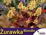 Żurawka Heuchera Little Cutie 'Blondie' (Heuchera) Sadzonka