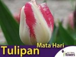 Tulipan Triumph 'Mata Hari' (Tulipa) CEBULKI