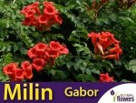 Milin Amerykański 'Gabor' (Campsis radicans) Sadzonka 60-90cm