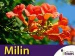 Milin Amerykański Pnącze (Campsis radicans)