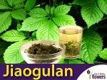 Jiaogulan - Ziele Długowieczności (Gynostemma pentaphyllum) Sadzonka