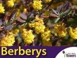 Berberys ottawski 'Superba'  (Berberis ×ottawensis 'Superba') sadzonka