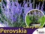 Perovskia 'Lacey Blue' (Perovskia atriplicifolia) Sadzonka