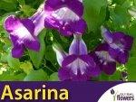 Asarina (Asarina scandens) 0,03g