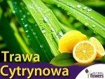 Trawa cytrynowa - (Cymbopogon)