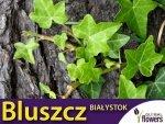 Bluszcz pospolity 'Białystok' (Hedera helix) Sadzonka C2